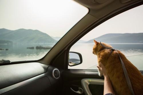 車の中から外を見る猫