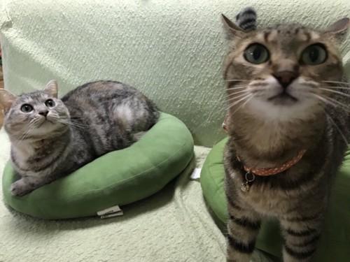 猫2匹とクッション