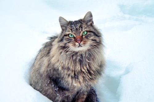 雪の中に座ってみつめるサイベリアン