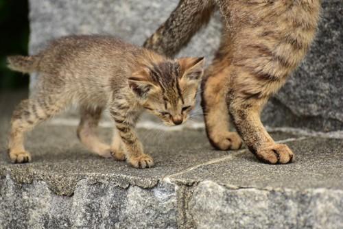 母猫について歩く子猫