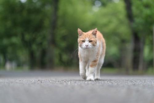 歩いている猫