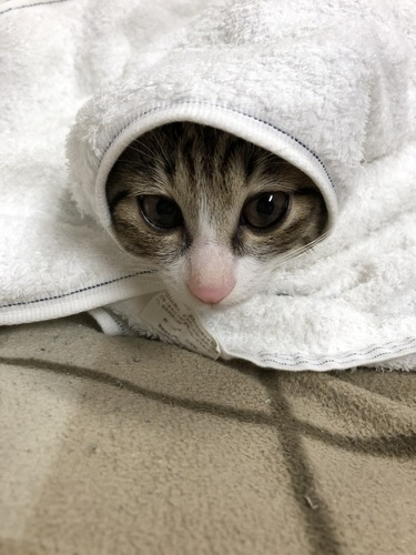 タオルにシンプルに巻かれた猫