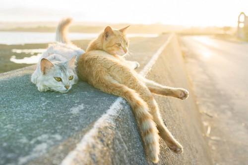 夕日を浴びてくつろぐ二匹の野良猫