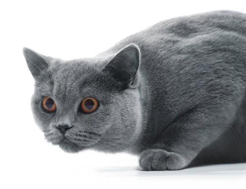 獲物を狙っている猫の顔アップ