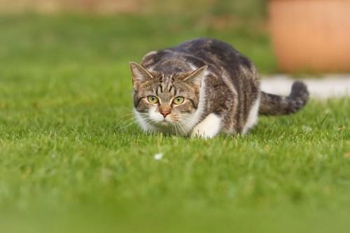 芝生を低い姿勢で歩くキジトラ白