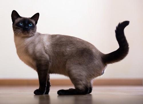;くにゃっと曲がった尻尾の猫