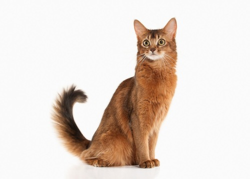 エジプト座りの猫