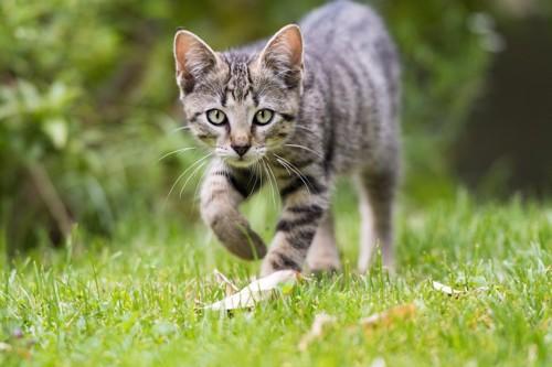 片手を上げてこちらに向かって歩く猫