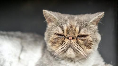 目を細めているペルシャ猫