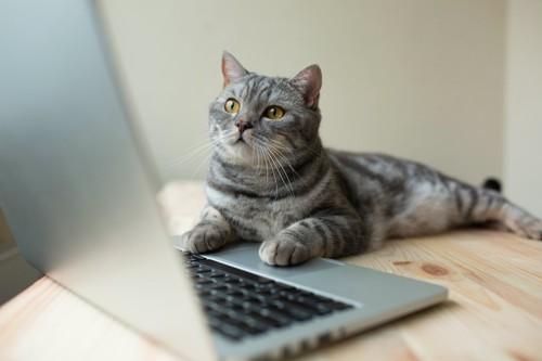 パソコン画面を見つめる猫
