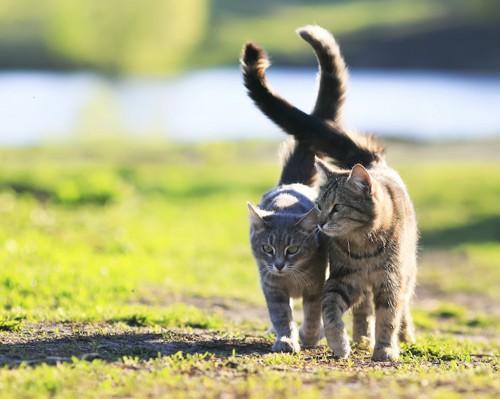 寄り添って歩く2匹の猫