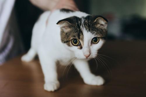 おびえる猫