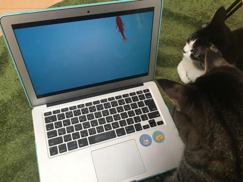 画面を凝視する猫2