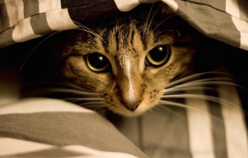 毛布の中に隠れる猫