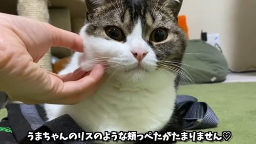 頬の毛を掴まれる猫