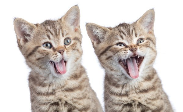 あくびをする2匹の子猫