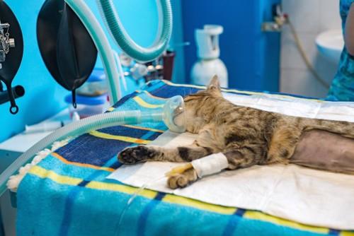 病院で手術されている猫