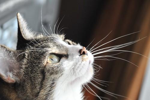 上を向いている猫の顔アップ