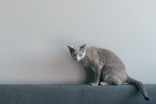 ソファーの背もたれの上で警戒する猫