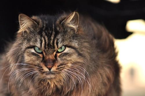 真剣な眼差しで見つめる長毛猫