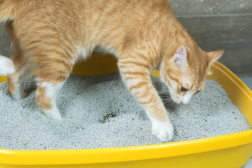トイレの砂を掻く茶トラ猫