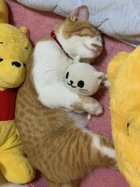 猫のぬいぐるみを抱き枕にする猫