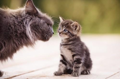 子猫に顔を近づける成猫