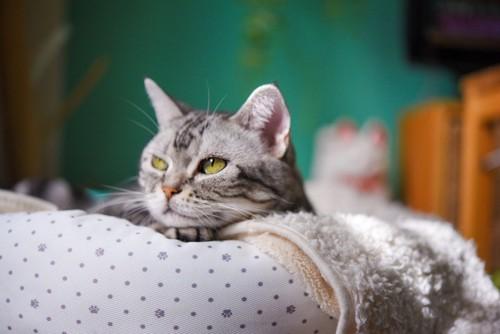 猫用ベッドで不満そうな猫