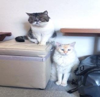 こちらをみる2匹の福猫茶房の猫