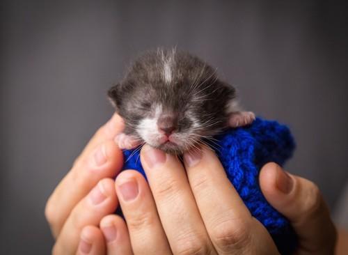 生まれたてのブリティッシュショートヘアの子猫