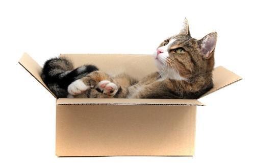 ダンボール箱に入る猫