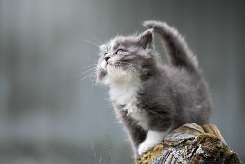上を見る子猫