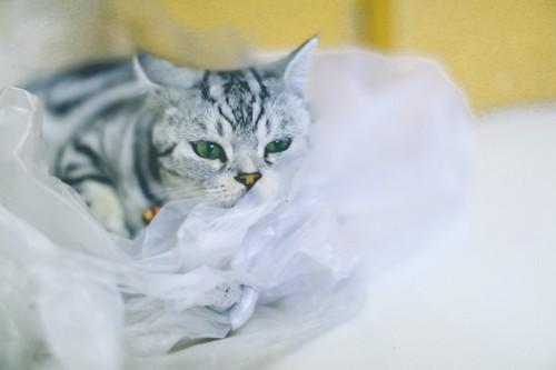 ビニール袋の中の縞模様の猫