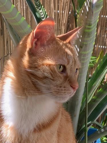 チャトラ猫のアップ