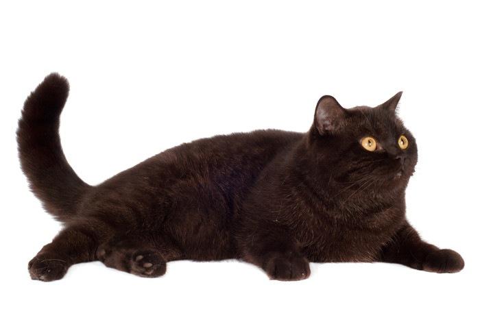 太った黒猫
