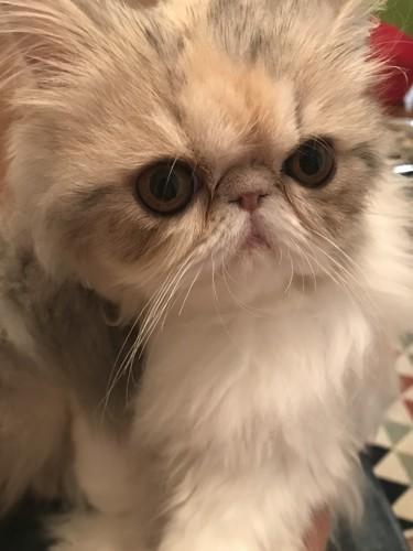 もふもふな子猫のエキゾチック