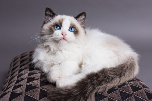 ブルーの瞳の猫