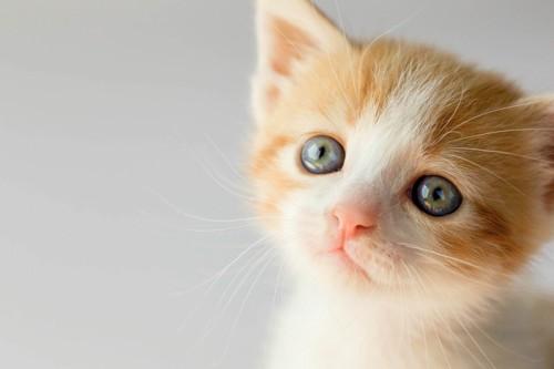 瞳をうるうるさせる子猫
