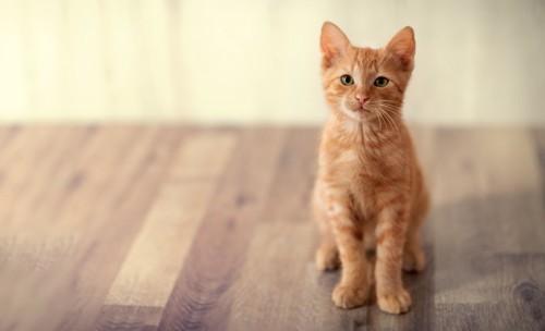 座ってじっと待つ子猫