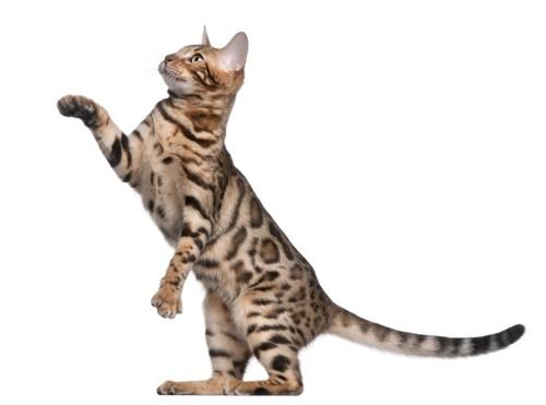 二本足で立っている猫