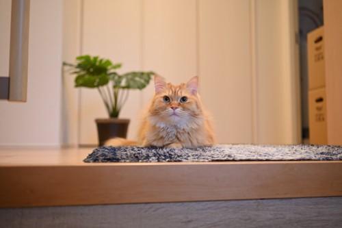 玄関で居座る猫