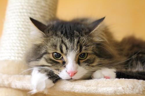 キャットタワーで不機嫌な猫