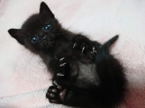黒仔猫、仰向け
