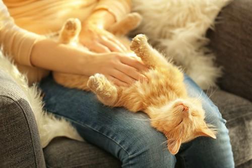 飼い主の膝の上で仰向けになる茶トラ猫