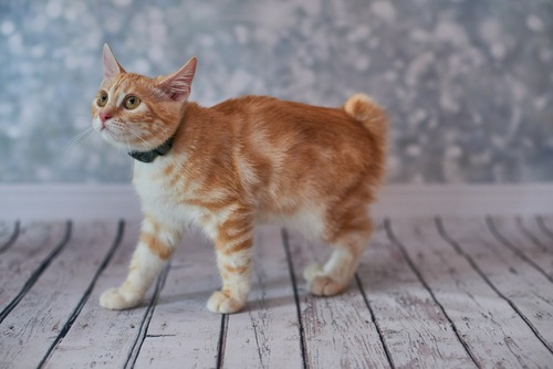 鍵しっぽの猫