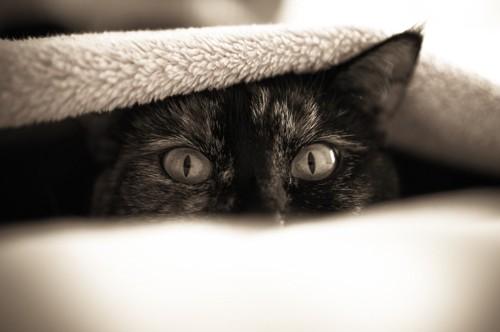 ブランケットの中で隠れている猫