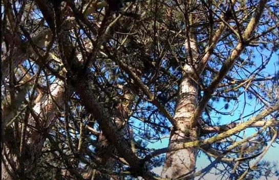 ソフィが立ち往生した木