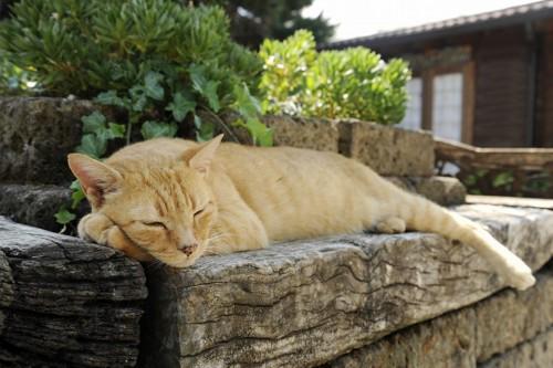 塀の上で寝るチャトラ猫