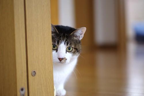 ドアの後ろに隠れる猫