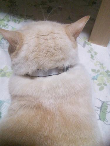 首輪を着けているクリーム色猫